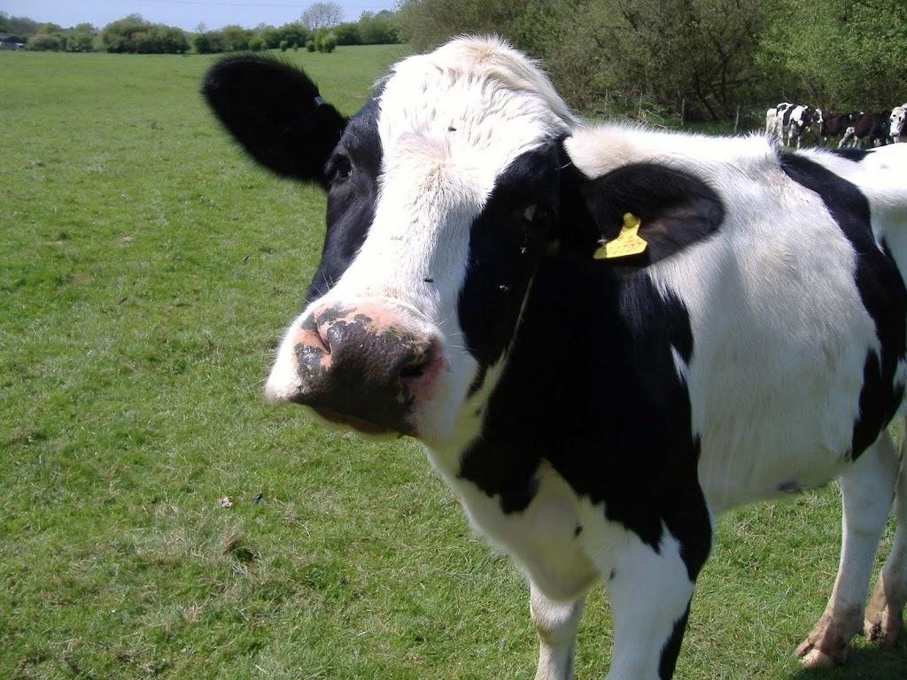 Voordelen van rauwe (geiten) melk