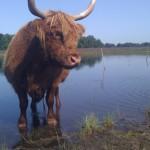 Schotse Hooglanders – Gezond Vlees en Lekker