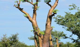 Gezondheidsvoordelen van Moringa