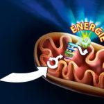 Mitochondriën: Wat, Hoe en Waarom
