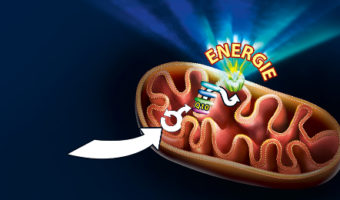 Mitochondriën