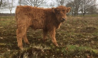 Schotse Hooglander gezond vlees