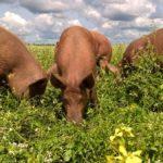Gezondheidsvoordelen van Grasgevoerd Vlees