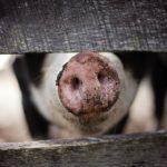 Varkensvlees: Voedingswaarde & Gezondheid